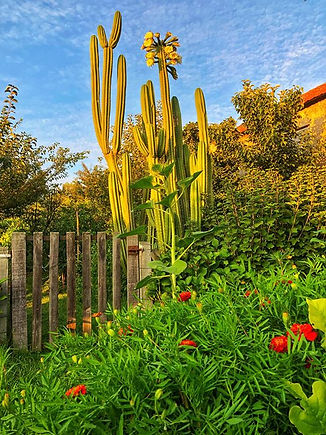 Cactus San Pedro - Wachuma