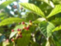 Psychotria viridis. Chacruna