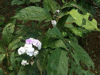 Brunfelsia grandiflora Don. Chiric Sanango