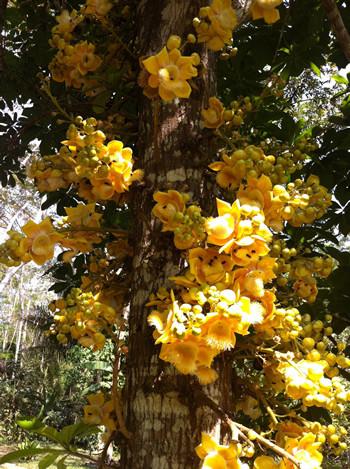 """Coroupita guianensis """"ayahuma"""""""