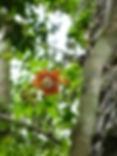 Ayahuma (Coroupita guianensis)