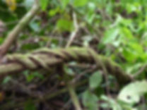 Banisteriopsis caapi. Ayahuasca