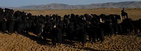 第四部:牦牛群踩踏地面,使播撒的种子深陷地底.png