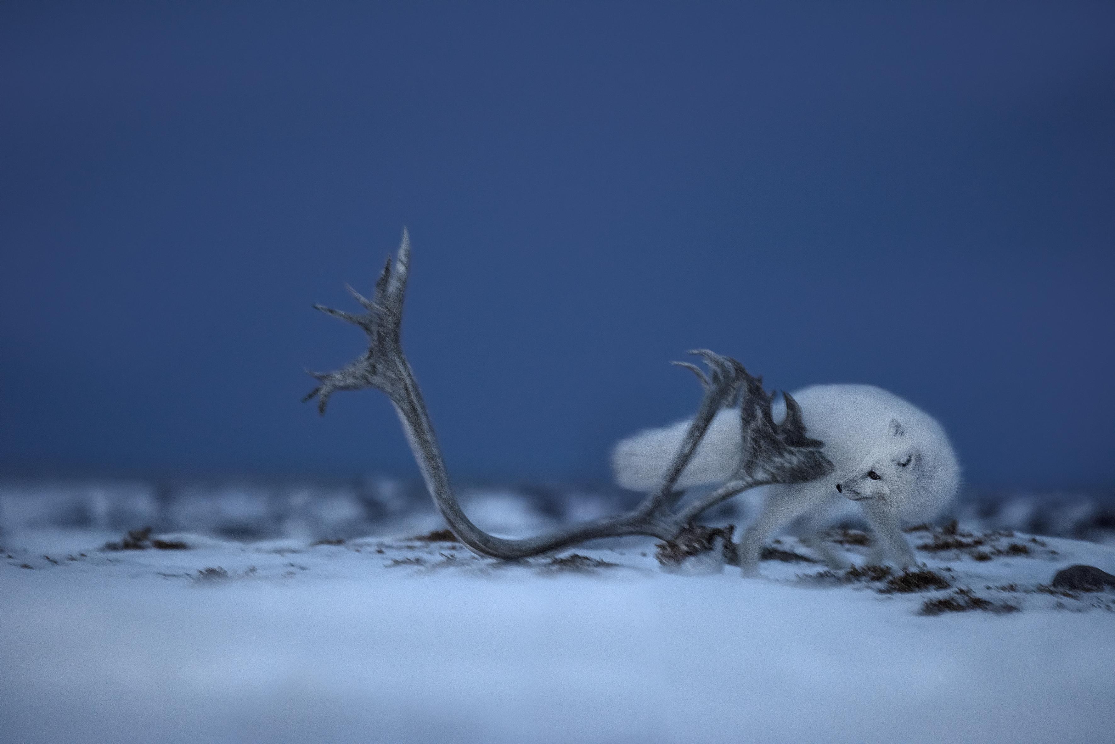 arctic fox_nunavut2