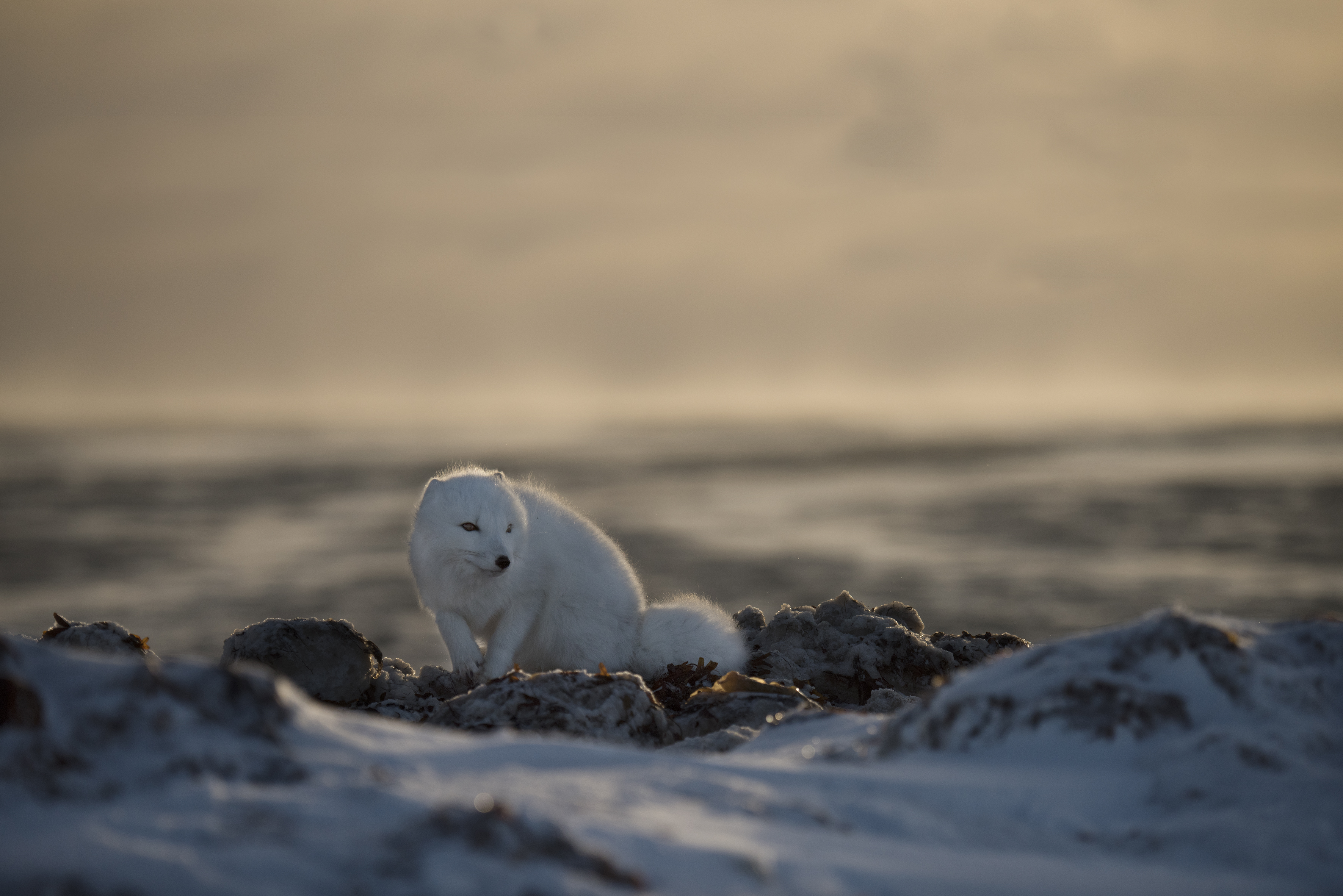 arctic fox_nunavut
