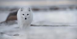 arctic fox_nunavut1