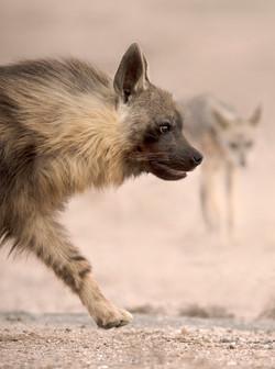 Brown Hyena, Skeleton Coast