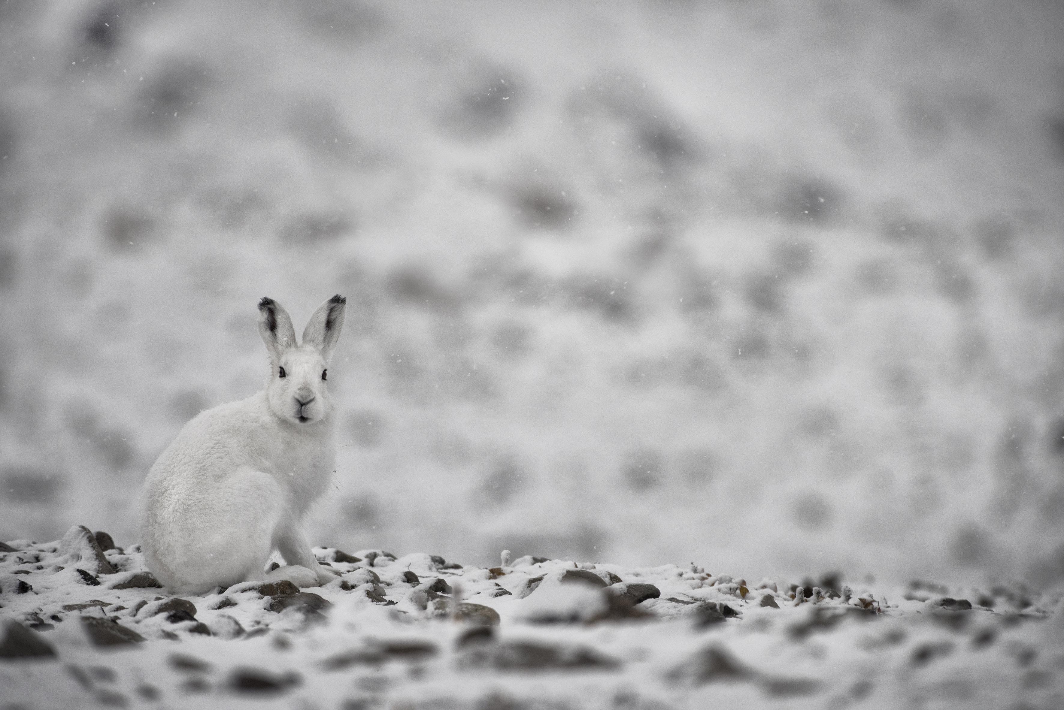 arctic hare_nunavut