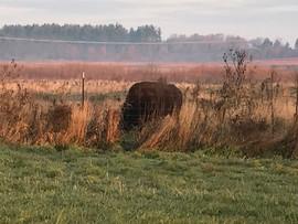 Bison onlookers