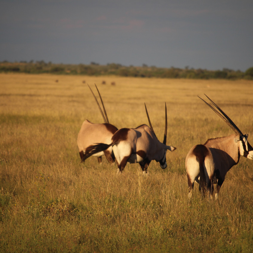 Tau Pan 4 oryx