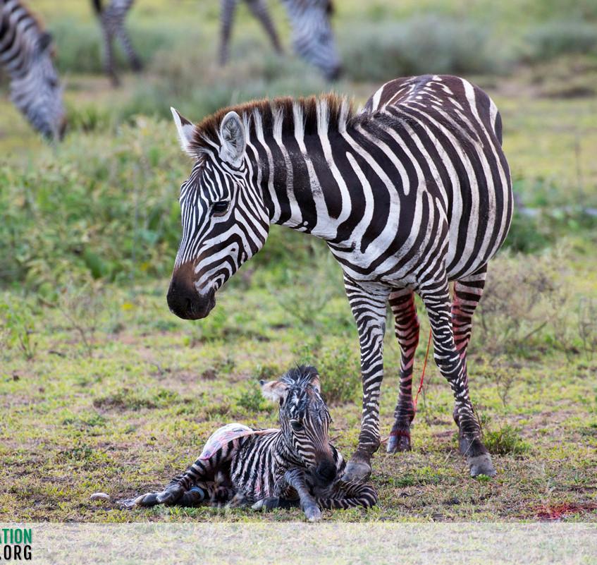 Zebra Serengeti Ndutu Jamie Thom 02