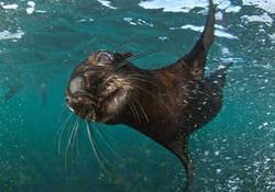 Seal_underwater.jpg