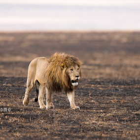 Remarkable Lions of the Ngorongoro Crater in Tanzania