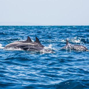 tanzania_-_fanjove_island_-_dolphins1.jp