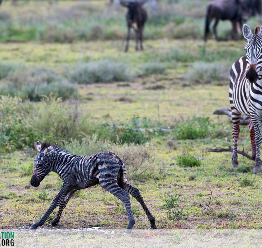 Zebra Serengeti Ndutu Jamie Thom 03