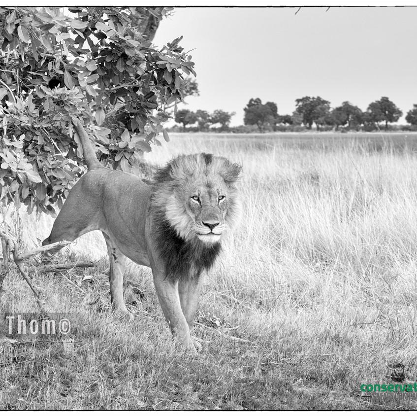 Jamie_Thom_Lion_Botswana_Safari_Company