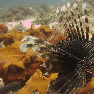 diving-antenna-lion-fish-matemwe-mr.jpg
