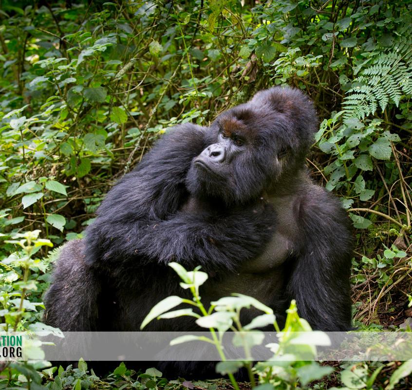 Rwanda Gorilla Safari 25