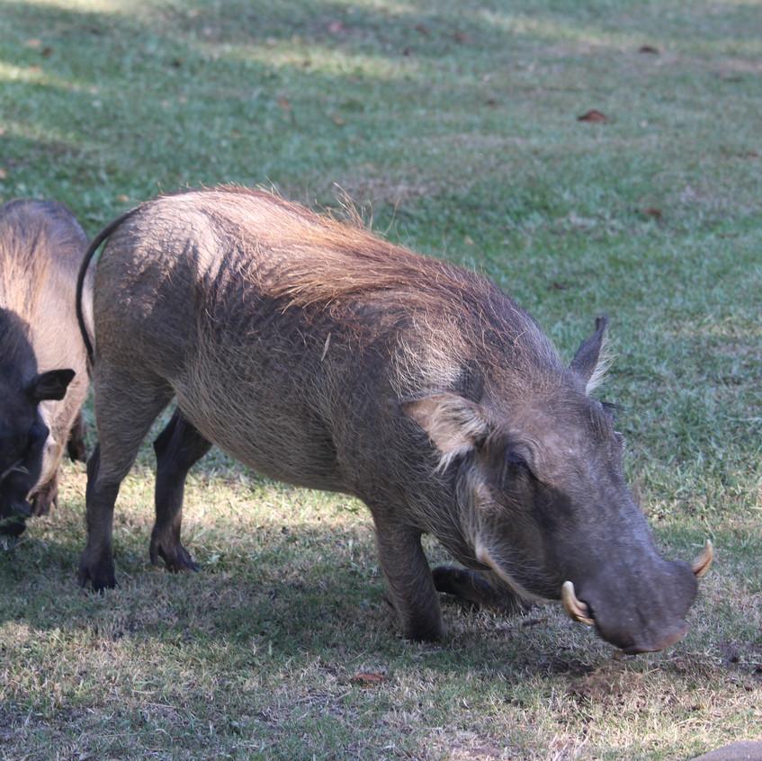 VicFallsHotel warthog family