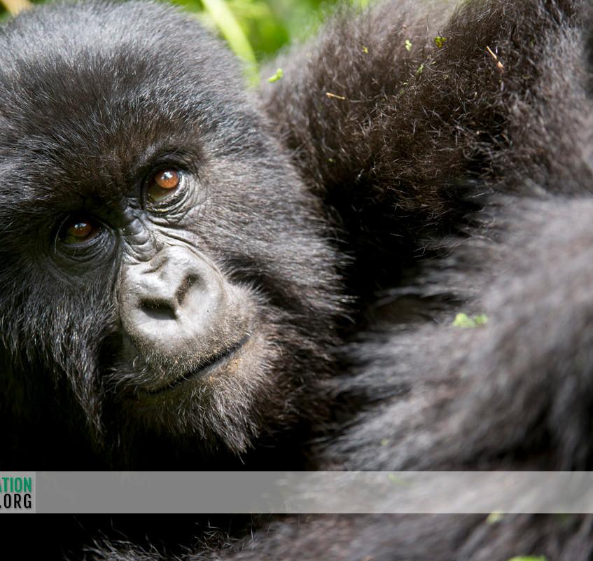 Rwanda Gorilla Safari 24