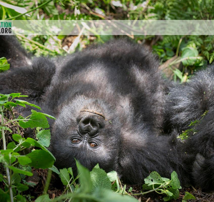 Rwanda Gorilla Safari 11