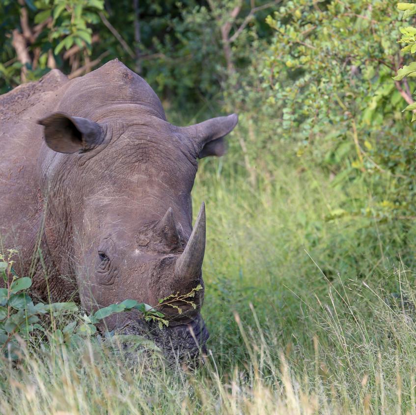 Idube black rhino facing out