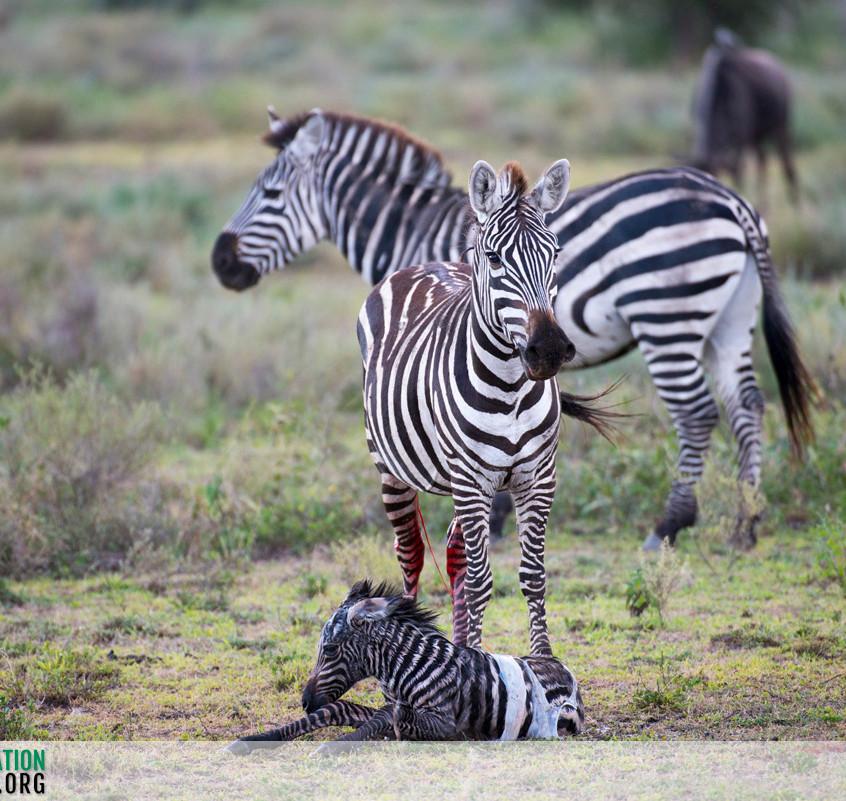 Zebra Serengeti Ndutu Jamie Thom 01
