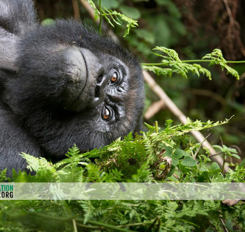 Rwanda Gorilla Safari 07