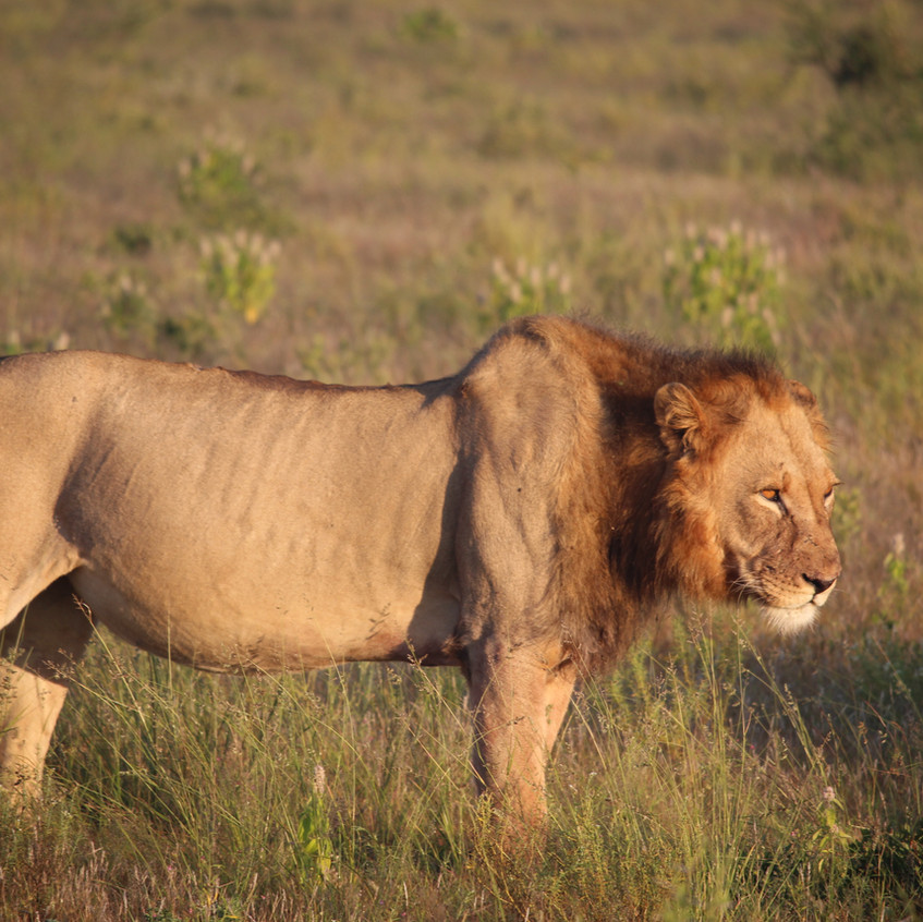tau Pan lion stance