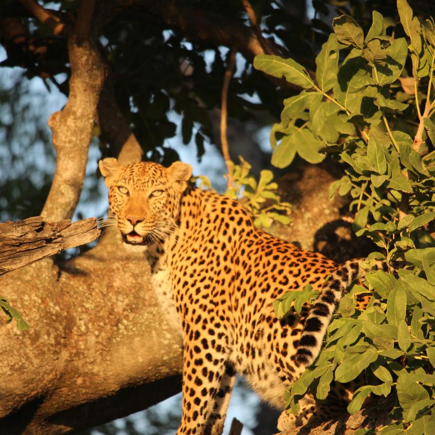 Shinde leopard tree best look
