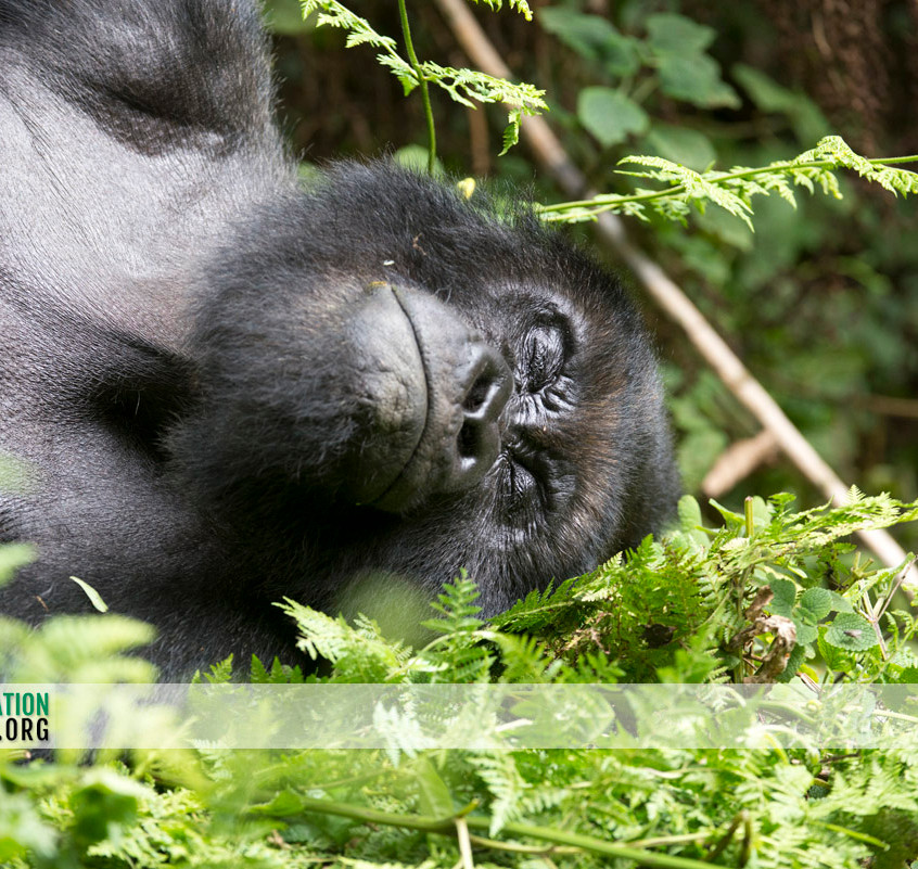Rwanda Gorilla Safari 09