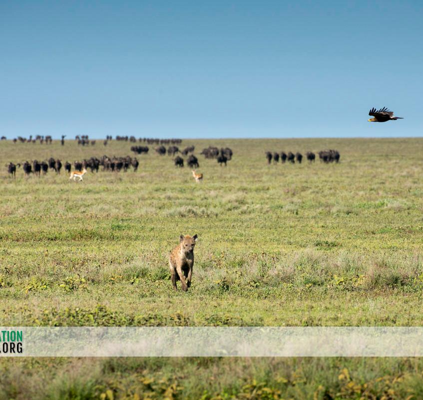 Hyena Serengeti Jamie Thom 02
