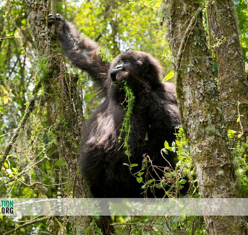 Rwanda Gorilla Safari 15