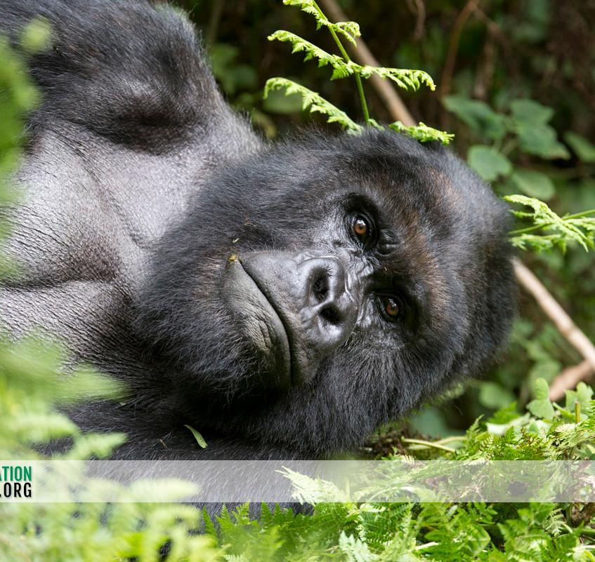 Rwanda Gorilla Safari 08