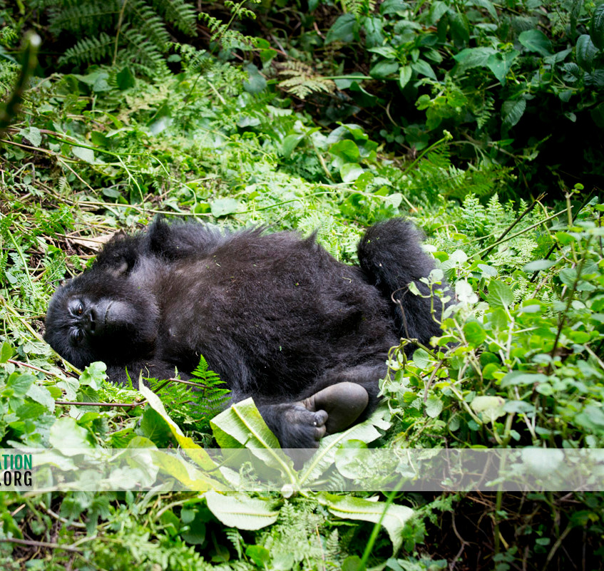 Rwanda Gorilla Safari 21