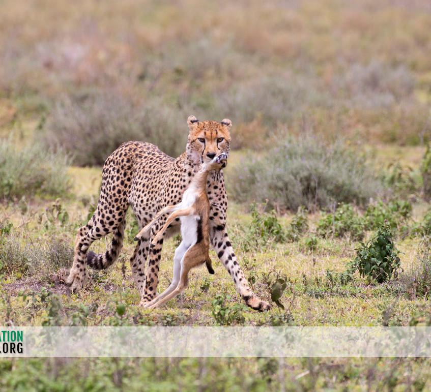 Cheetah Serengeti Jamie Thom 01