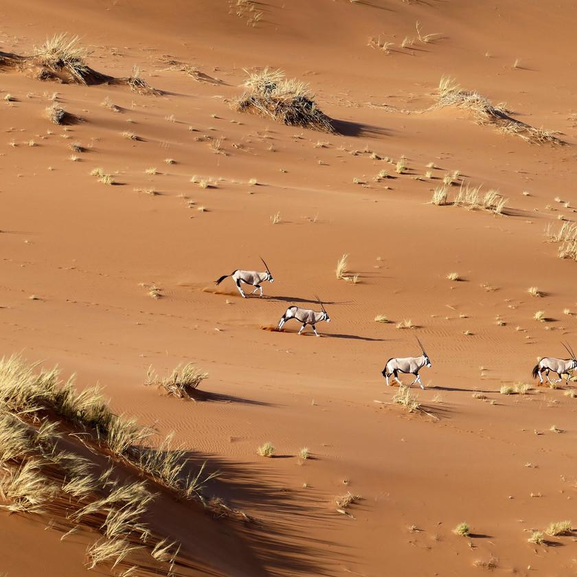 Oryx amongst the dunes Namibia