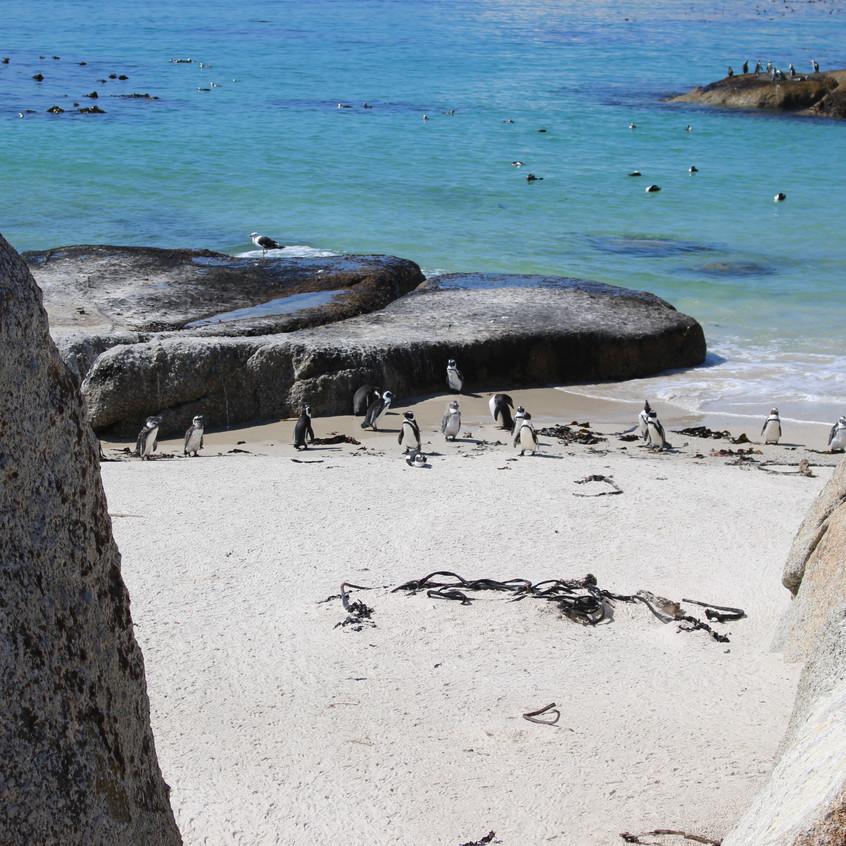 Penguins at Simonstown beach