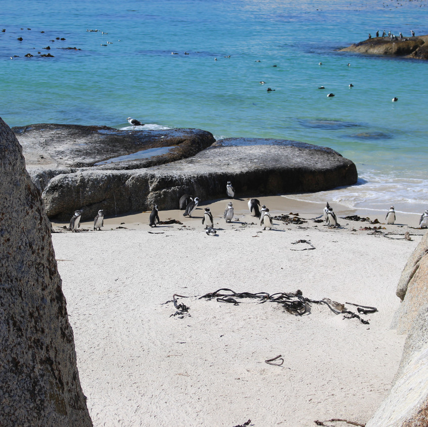 Penguins at Simonstown beach