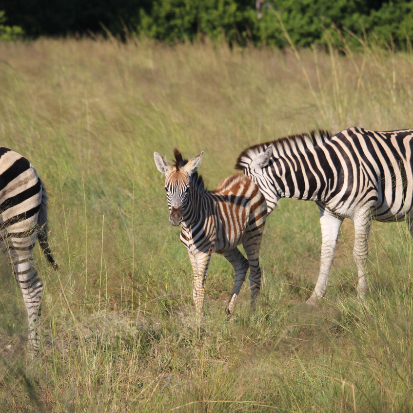 Shinde zebra family