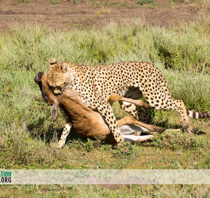 Cheetah Serengeti Jamie Thom 07