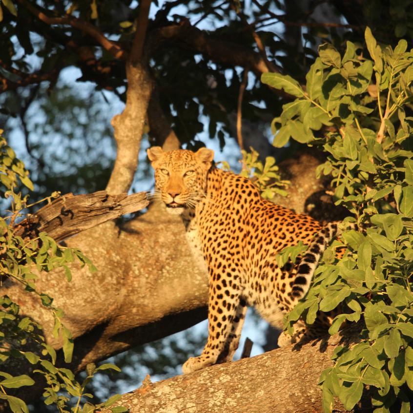 Shinde leopard tree look at you Grrr