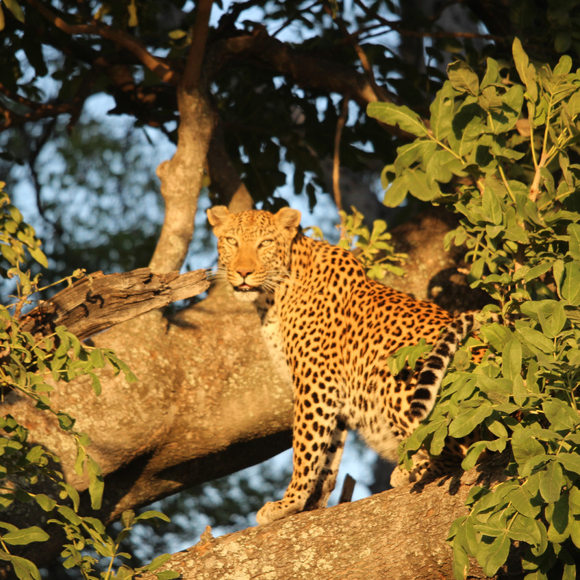 Shinde leopard tree look at you Grrr