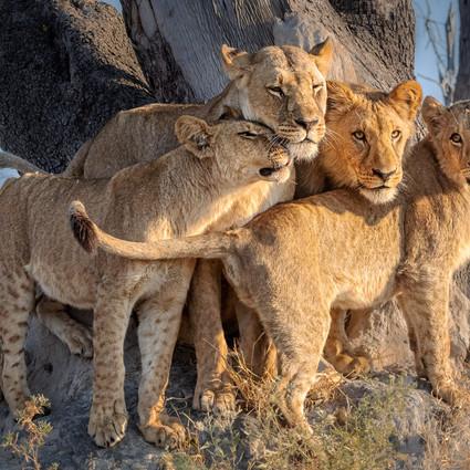 Guest Gallery - Incredible Predators of Botswana Safari