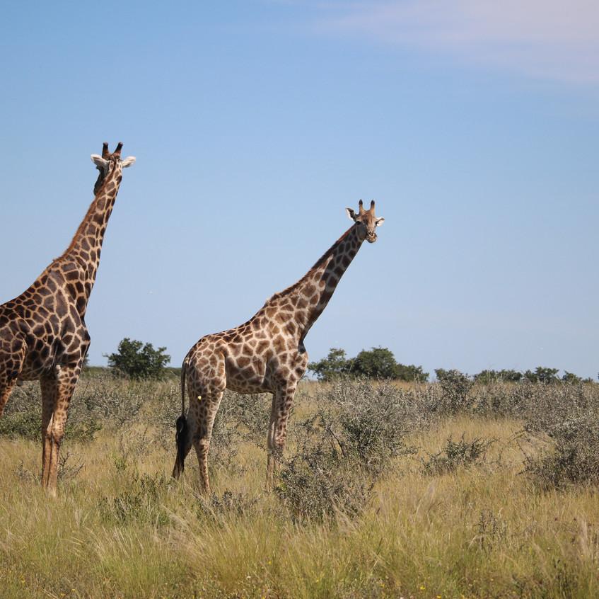 Tau Pan pair of giraffes