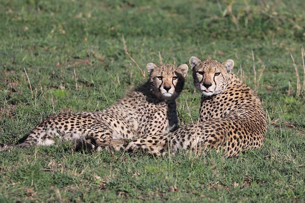 Tanzania safari - cheetah.jpg