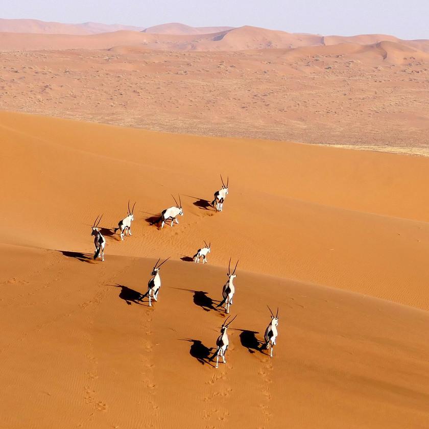 Oryx herd Sossusvlei