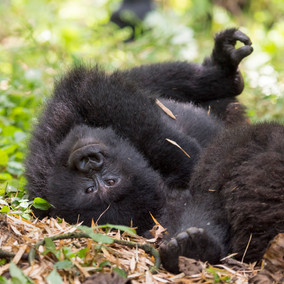 Gorilla moments to savour for a lifetime...luxury Rwanda Safari