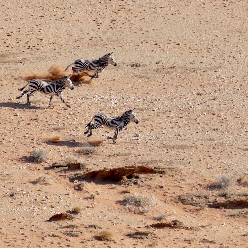 Desert zebra Namibia