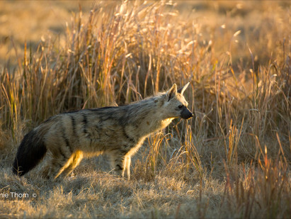 Meet the rare and fascinating Aardwolf